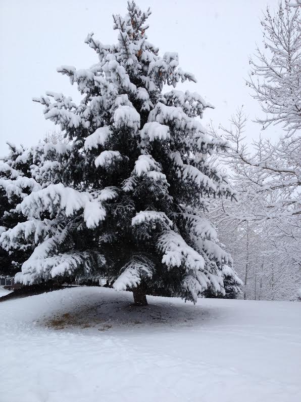 snowheavyontree
